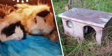 Meerschweinchen samt Häuschen im Wald ausgesetzt