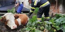 Feuerwehr-Großeinsatz, weil Kuh in Misthaufen steckte
