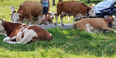 Lkw erfasst Rinderherde– 3 Tiere tot