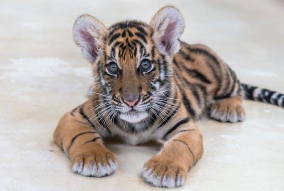 In einem Fall von illegalem Tierhandel wurde ein Tigerbaby an ein französisches Paar gesendet, das behauptet, es hätte eine Savannah-Katze bestellt.