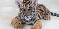 Paar kauft aus versehen Tiger und wird verhaftet