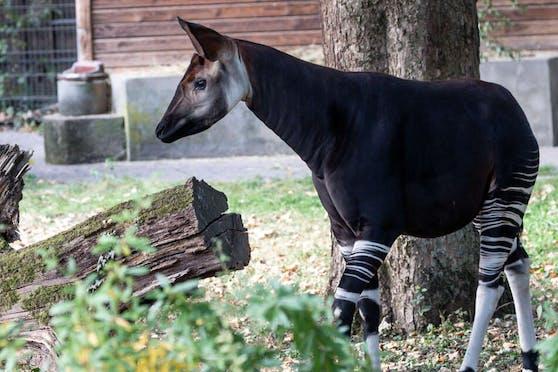 Im Kölner Zoo treibt sich neuerdings ein Mischwesen, das aus einer Märchenwelt stammen könnte, herum.