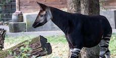 Zebra oder Giraffe? Seltenes Fabelwesen im Kölner Zoo