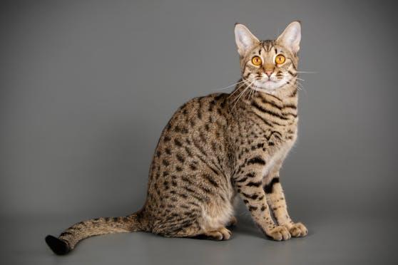 Sieht einem Tiger nicht unbedingt ähnlich: eine Savannah-Katze