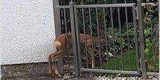 Au reh! Baby-Kitz blieb in Gartentor stecken