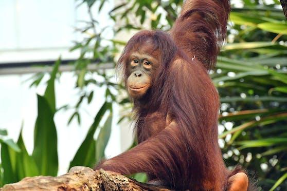 Orang-Utan-Weibchen Surya könnte mitVladimir künftigfür den langersehnten Orang-Utan-Nachwuchs sorgen.