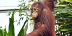 Zuwachs bei den Orang-Utans im Zoo Schönbrunn