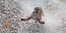 """Puma attackiert Jogger: """"Hab keine Lust zu sterben!"""""""