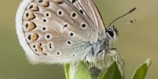 Dieser Schmetterling legt Schnellstraße ein Jahr lahm