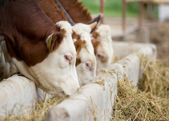 Tragödie: Stiere trampelten Landwirt tot.