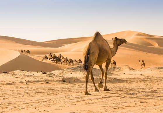 Aus Spaß kann man mit dem Kamelrechner bestimmen, wie viele Kamele Freunde oder Partner wert wären.