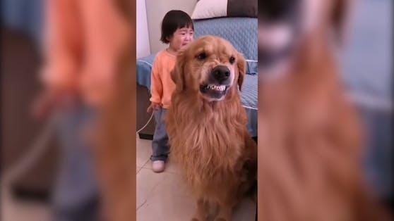 Golden Retriever Harry beschützt das kleine Mädchen.