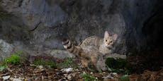 """""""Eine Wildkatze aufzufinden, ist praktisch unmöglich"""""""