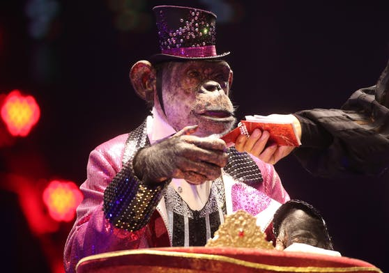 """Zirkus-Schimpanse """"Micky"""" bei einem Auftritt zur Feier des 100-jährigen Bestehens des Moskauer Staatszirkus am 19. September 2020"""