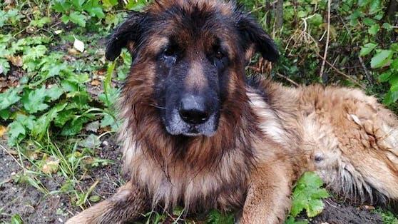 Dieser Schäferhund bewies einen unglaublich großen Lebenswillen.