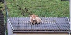 Ku(h)rioser Einsatz: Rind steckte in Dach fest