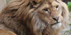 Inzucht, unterernährt, dehydriert: Löwe lebt im Leid