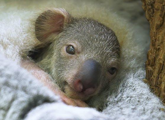 Das erste Koala-Jungtier in der Geschichte zeigt sein süßes Gesicht.