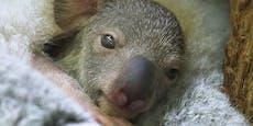 Erstes Koala-Baby zeigt sich der Kamera