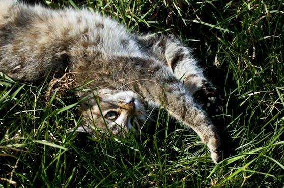 Eine Katze wurde gehäutet, ausgeweidet und verstümmelt aufgefunden.