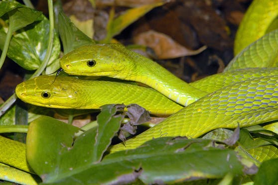 Ausgewachsen werden grüne Mambas ca. zwei Meter lang und zeichnen sich durch ihre enorme Geschwindigkeit aus. Ihr Neurotoxin ist hochgiftig und kann auch für Menschen ohne Gegenserum tödlich enden.