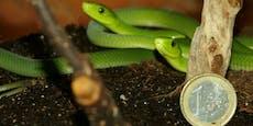 Hochgiftige Schlangen sind ungeplant in Wien geschlüpft