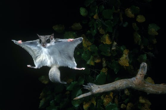 """Fliegen können die """"Flug""""-hörnchen eigentlich nicht - nur gleiten, mittels der sogenannten Gleithaut zwischen Vorder- und Hinterbeinen."""