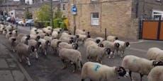 300 Schafe legen ganze Stadt in England lahm