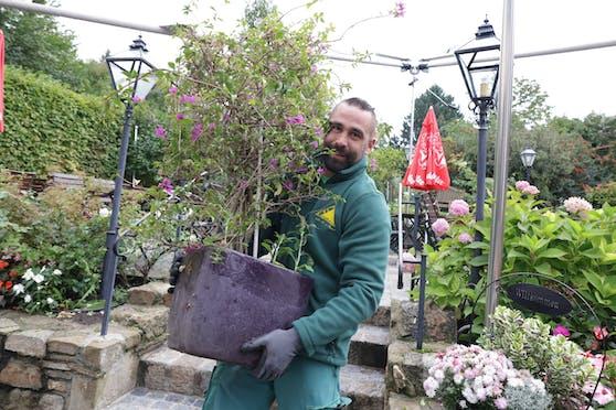 Wenns frisch wird, brauchen Balkon- und Terassen-Pflanzen ein warmes Plätzchen. Sieben Wiener Gärtnereien bieten daher nun wieder ihr Überwinterungsservice an.