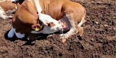 Bizarres Verhalten – Kuh trinkt ihre eigene Milch
