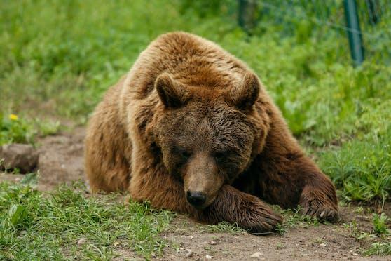 Der alte Braunbär musste aufgrund der Zoo-Modernisierung sterben. (Symbolbild)
