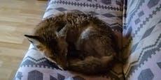 Besonderer Gast: Fuchs schlüpft durch Katzenklappe