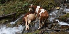 Tiertragödie im Zillertal! Kälber stürzten 300 Meter ab