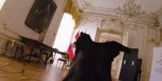 """Darum stürmt """"First Dog"""" Juli durch die Hofburg"""