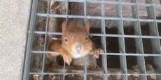 Eichhörnchen sitzt hinter Gittern fest