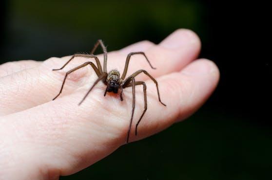 Welche Spinne Adam Knights Immunsystem derart schwächte, wissen die Ärzte bis heute nicht. (Symbolbild)