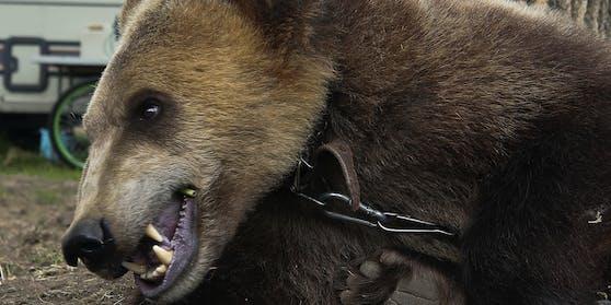 Das ist ein Bär aus einem weißrussischen Zirkus.