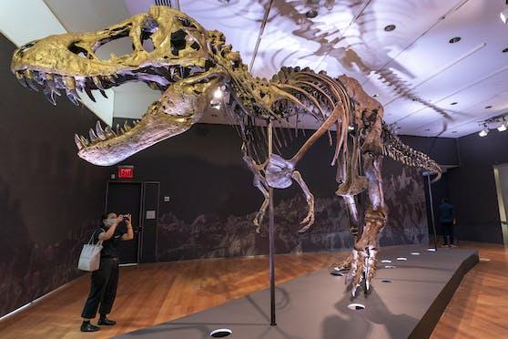 """Tyrannosaurus """"Stan"""" ist zwölf Meter lang. Wer auch immer das Skelett ersteigert hat, muss also viel Platz haben."""