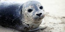 US-Fischer wollen tausende Robben töten