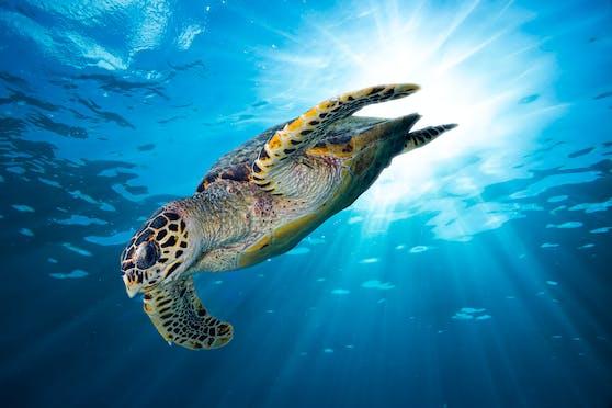 Die globale Klimakrise heizt das Artensterben weiter an. Vor allem viele Schildkröten, Geckos und Echsen wurden kürzlich von derWeltnaturschutzunion IUCN in höhere Bedrohungskategorien eingestuft.