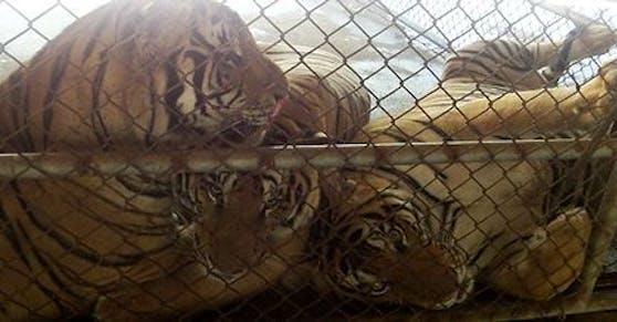 """Die Gräueltaten der """"Tiger-Mafia"""" werden nun in einer Dokumentation von Karl Amman aufgedeckt."""