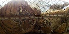 Tiger verhungern - nur so ist der Verkauf legal