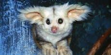 Zuckersüß: Neu entdeckte Tierart erinnert an Yoda