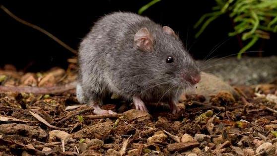 Dieser Nager, der zur Gattung der Australischen Mäuse zählt, ist stark gefährdet.