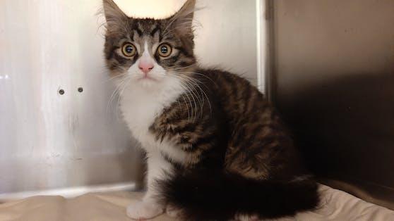 """Der zehn Wochen alte Kater """"Fritzi"""" erholt sich jetzt am Tierschutzhof Pfotenhilfe."""