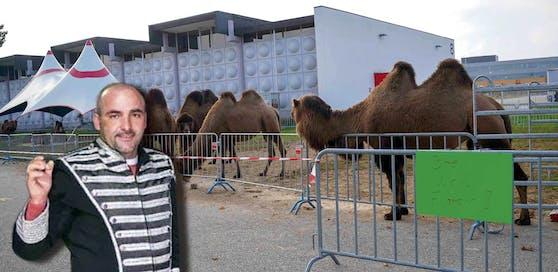 """""""Kamele sind keine wilden Tiere, aber auch keine Kuscheltiere"""", sagt Zirkusdirektor Alex Kaiser."""