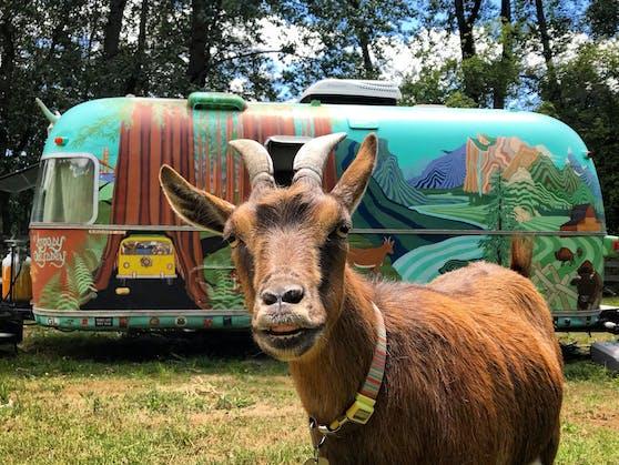 """60.000 Meilen quer durch die USA reist Ziege """"Frankie"""" mit ihren Besitzern."""