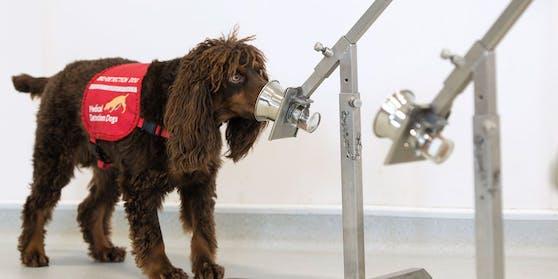 Asher ist einer von sechs Hunden, die in London schnuppern.