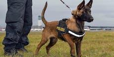 """Ausgesetzter """"Quattro"""" ist nun ein Polizeidiensthund"""