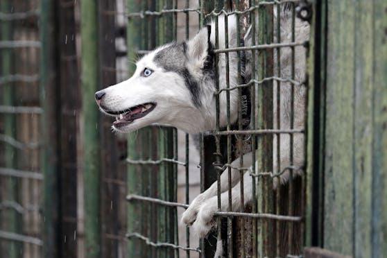 19 Huskys wurden verwahrlost in einer Etagenwohnung in Krefeld (DE) entdeckt. Die Polizei schritt ein.